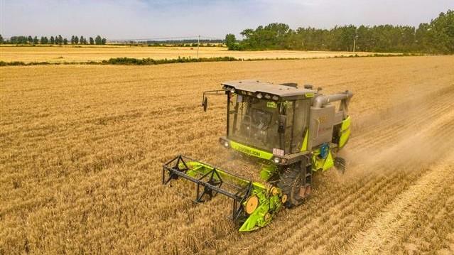 襄阳订单酿酒黑小麦丰收 助力农民增收