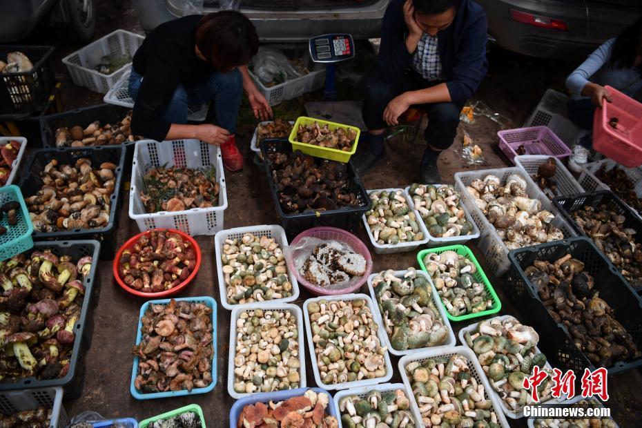 云南野生菌交易旺季已至 市场供销两旺