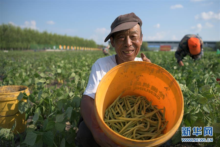 黑龙江克东:订单种植模式助农脱