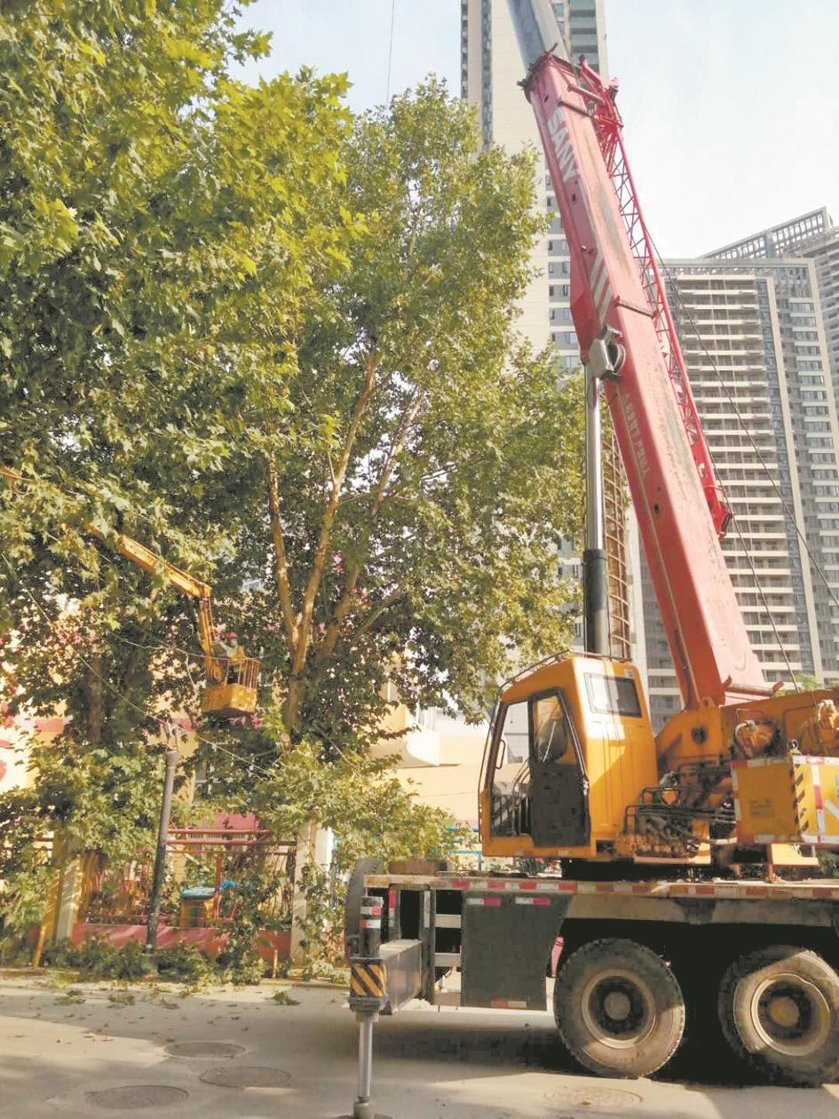 """幼儿园8棵老法桐长期没修剪 园林人员爬树给老树""""理发"""""""