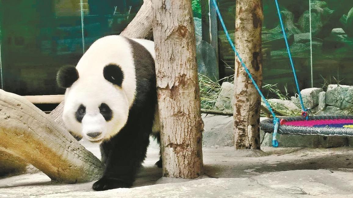 """大熊猫""""春俏""""""""胖妞""""来汉一周年了"""