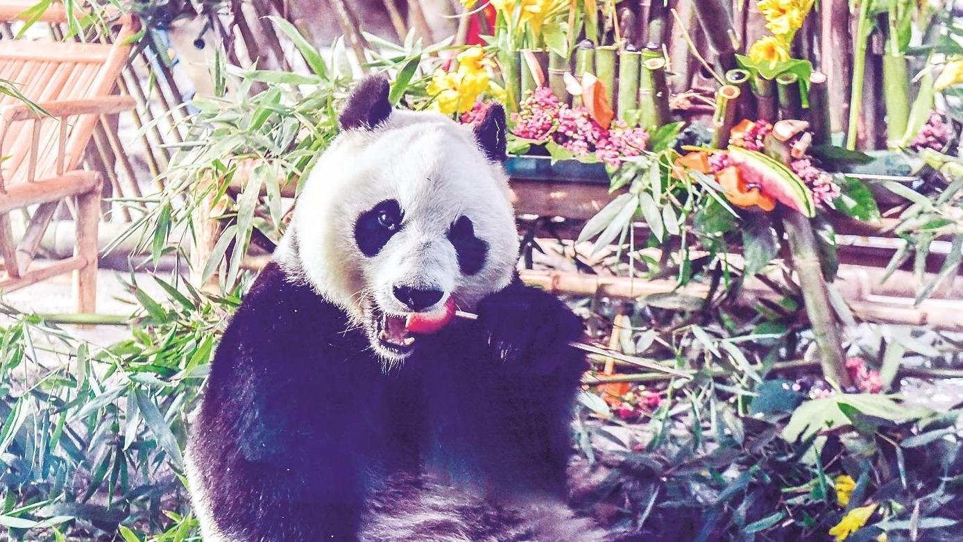 武汉动物园给大熊猫庆祝5岁生日