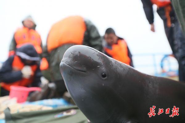 10多头江豚武汉城区江段戏水,非常罕见,传奇私服信息网