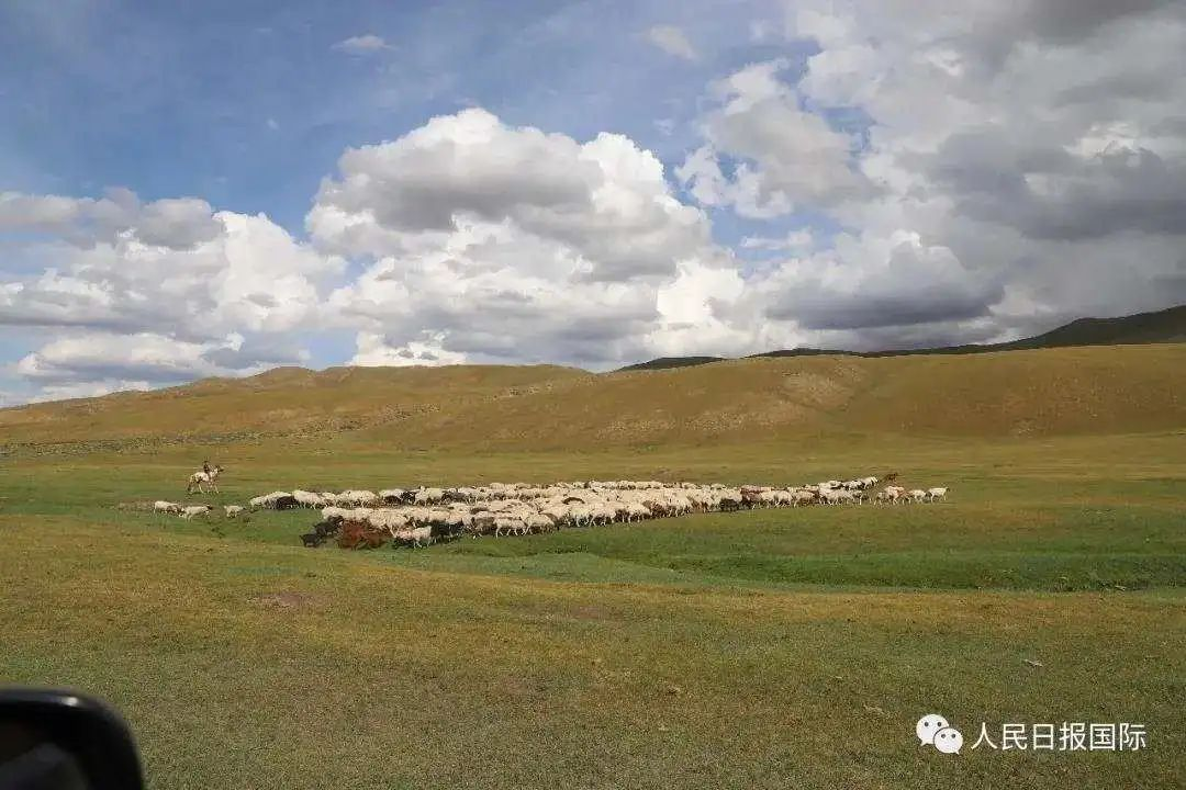 蒙古国送给湖北的30000只羊,长成这样了!一大波实拍来袭