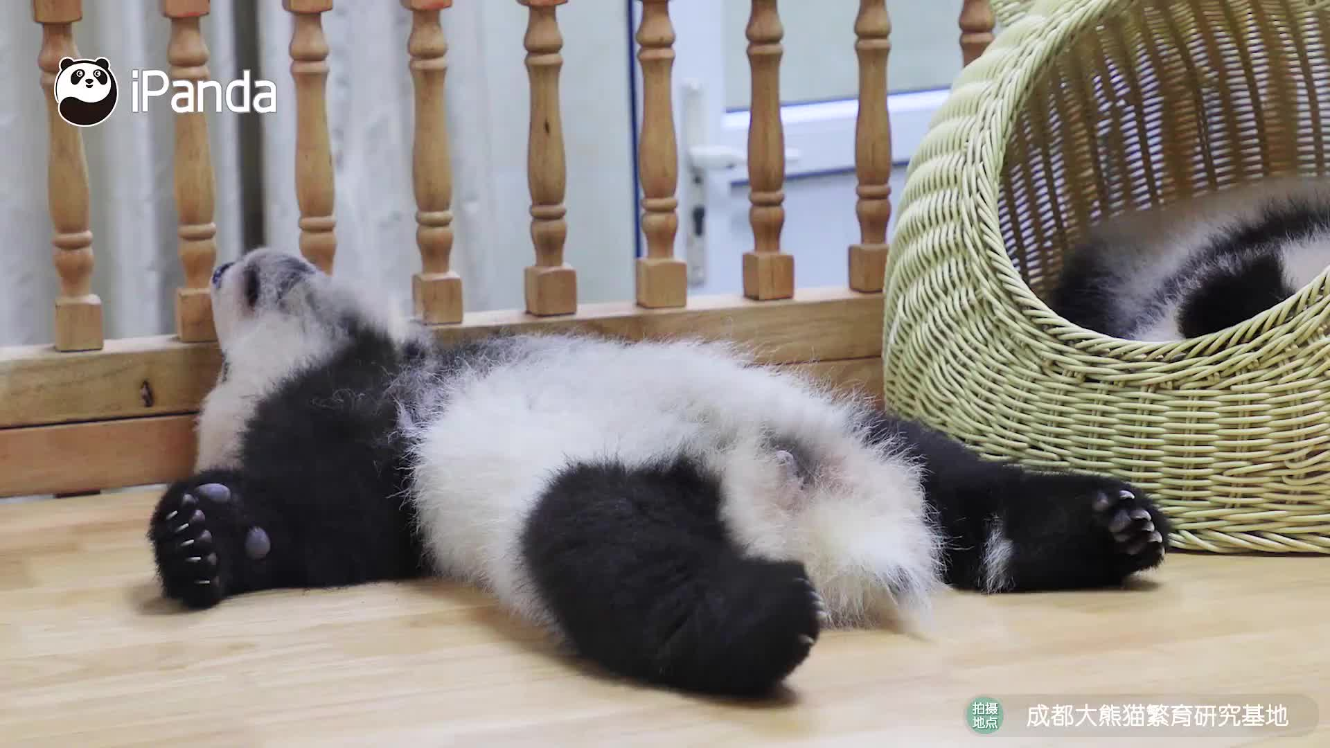 大熊猫为什么睡觉这么香