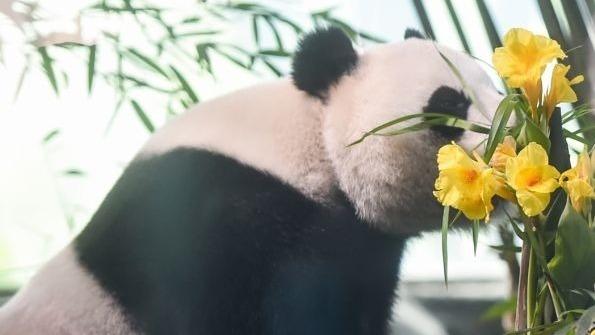 武汉动物园大熊猫春俏5岁啦!