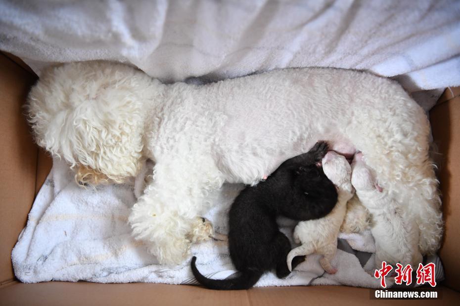 比熊犬给昆明动物园黑豹幼崽当奶妈
