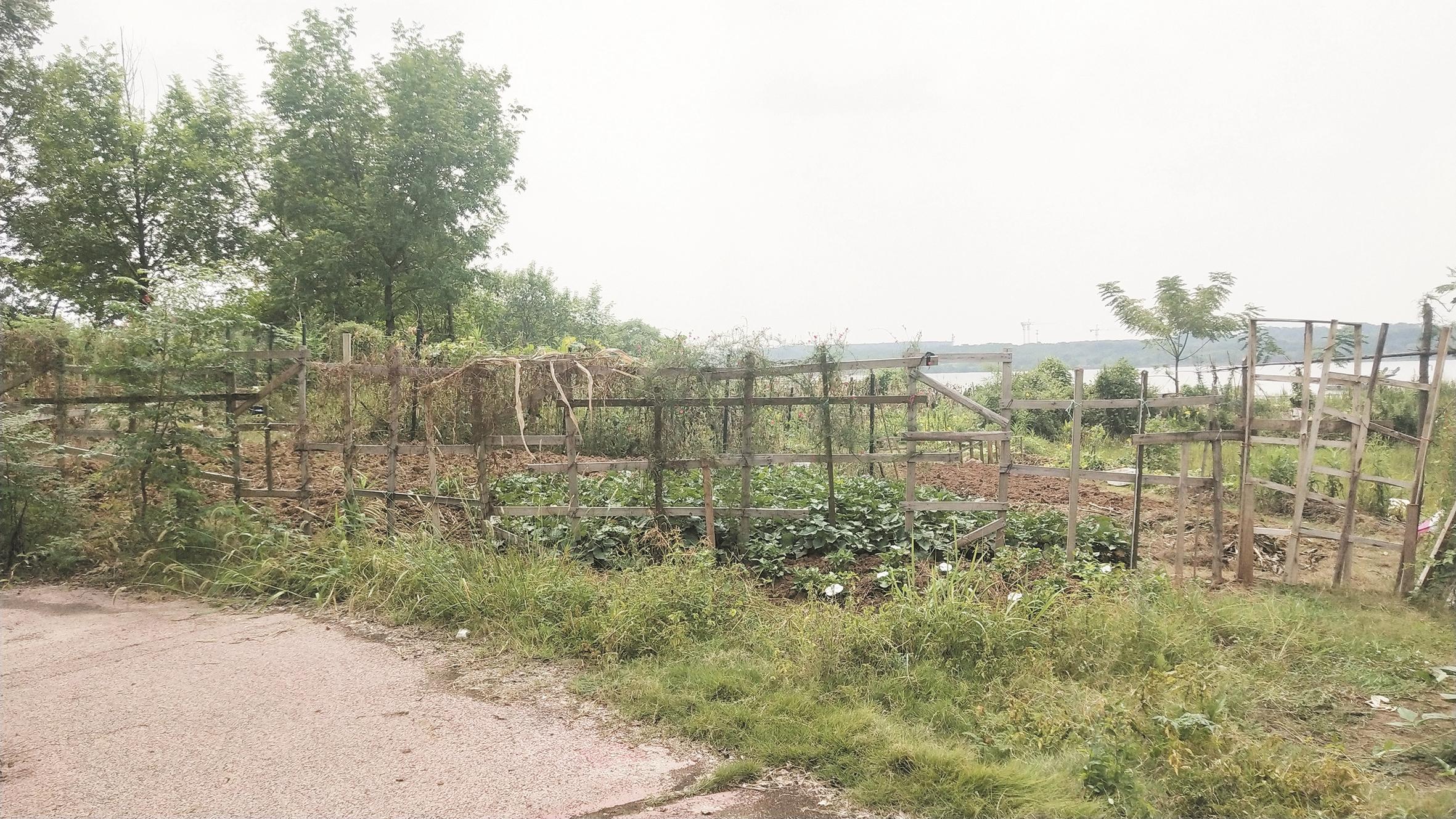 """小区旁的""""公园""""成了菜地 业主觉得可惜 规划部门称允许开荒"""