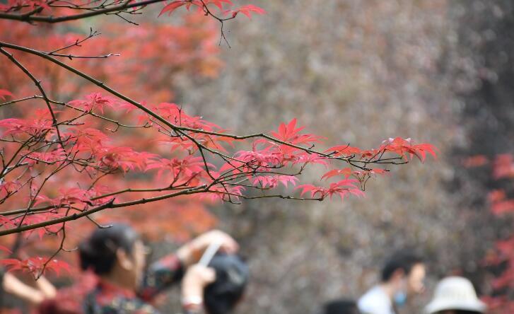 枫叶红,秋意浓