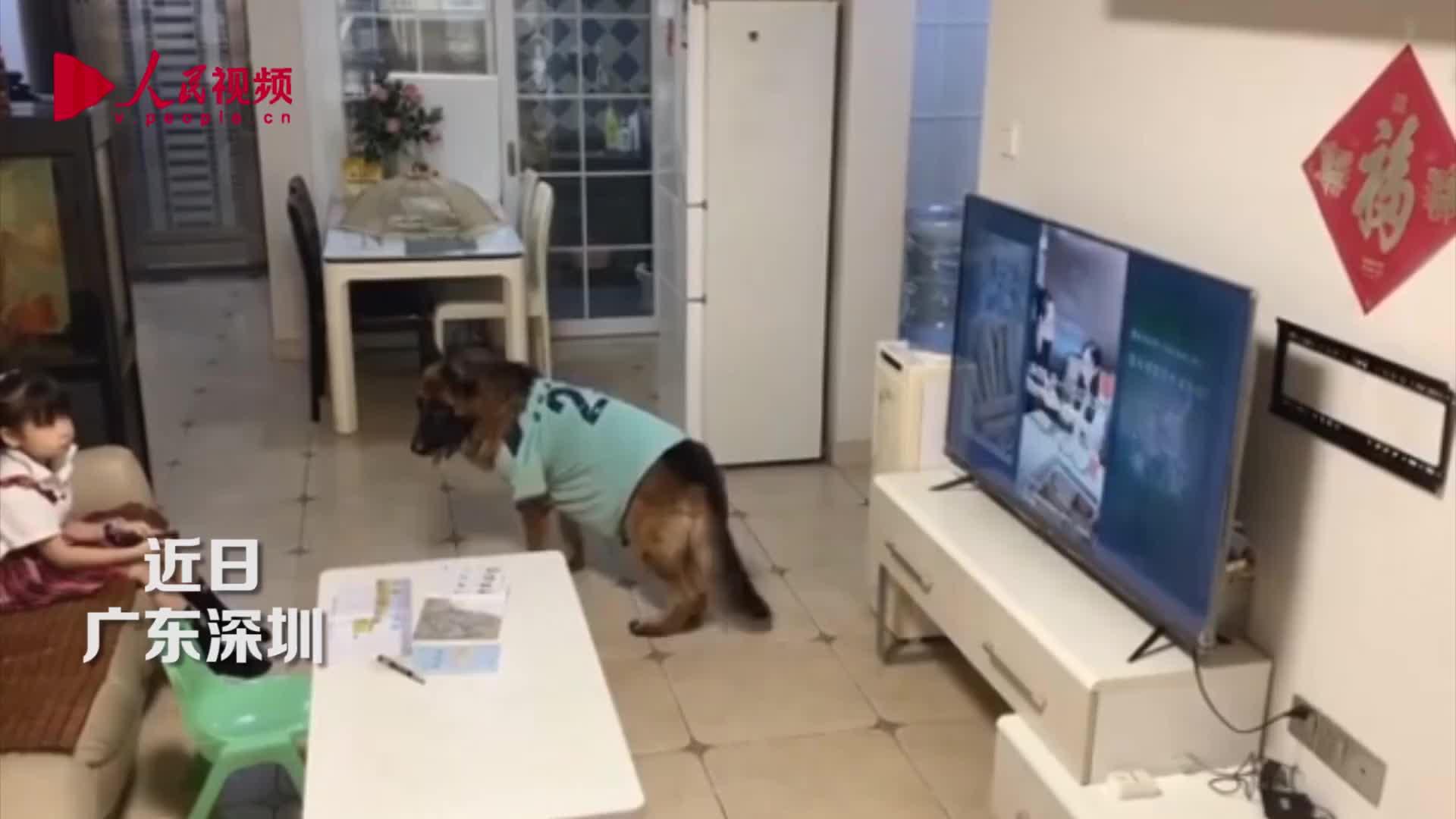 最佳拍档!狗狗帮看电视小主人打掩护