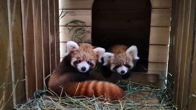 江城动物园成功繁育小熊猫twins