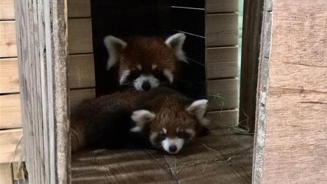 武汉动物园小熊猫双胞胎国庆亮相