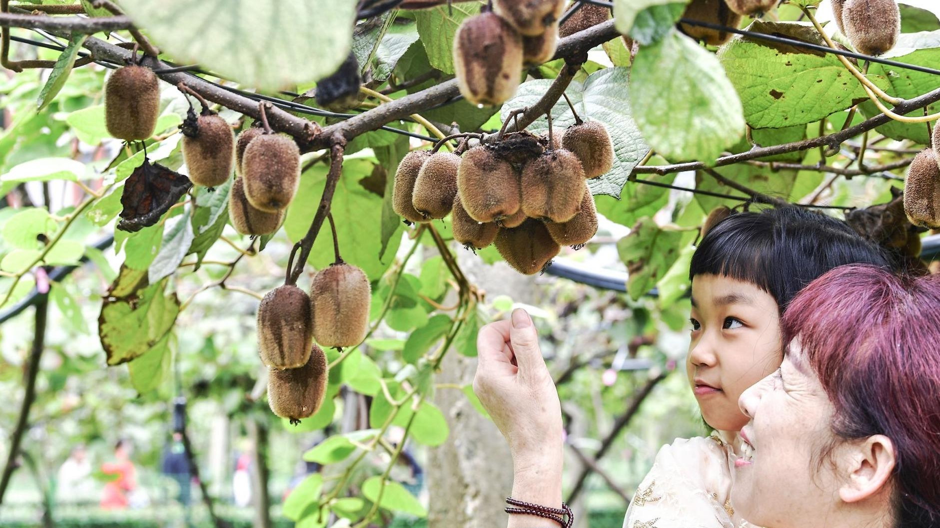 武汉植物园猕猴桃种类达66个