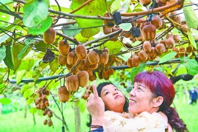 """猕猴桃竟能吃出麻辣味? """"金桃""""从武汉走向全球"""