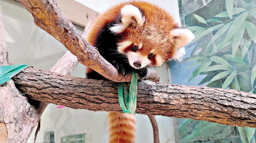 今年第三只小熊猫新生宝宝即将展出