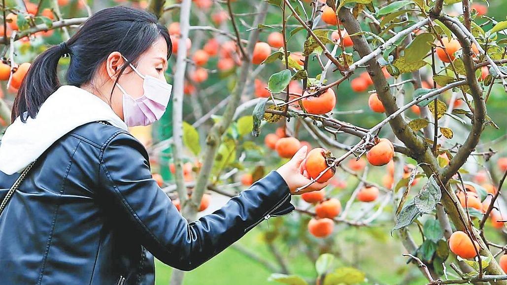 华农的苹果脆柿熟了