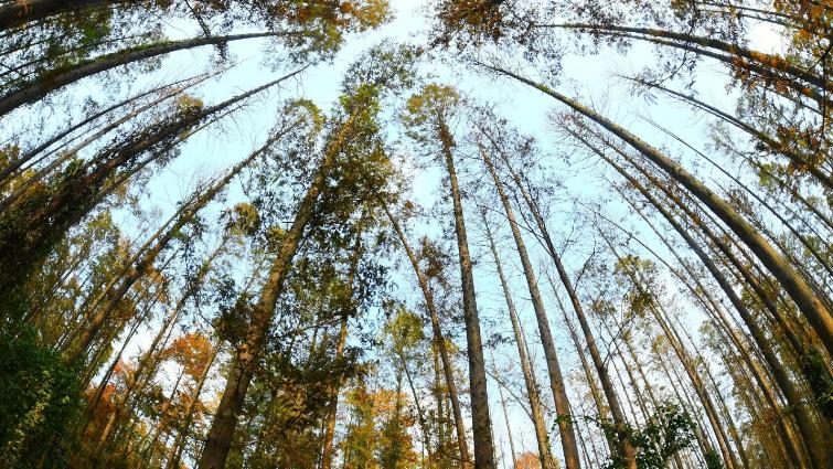 层林尽染  武汉水杉林进入最佳观赏期