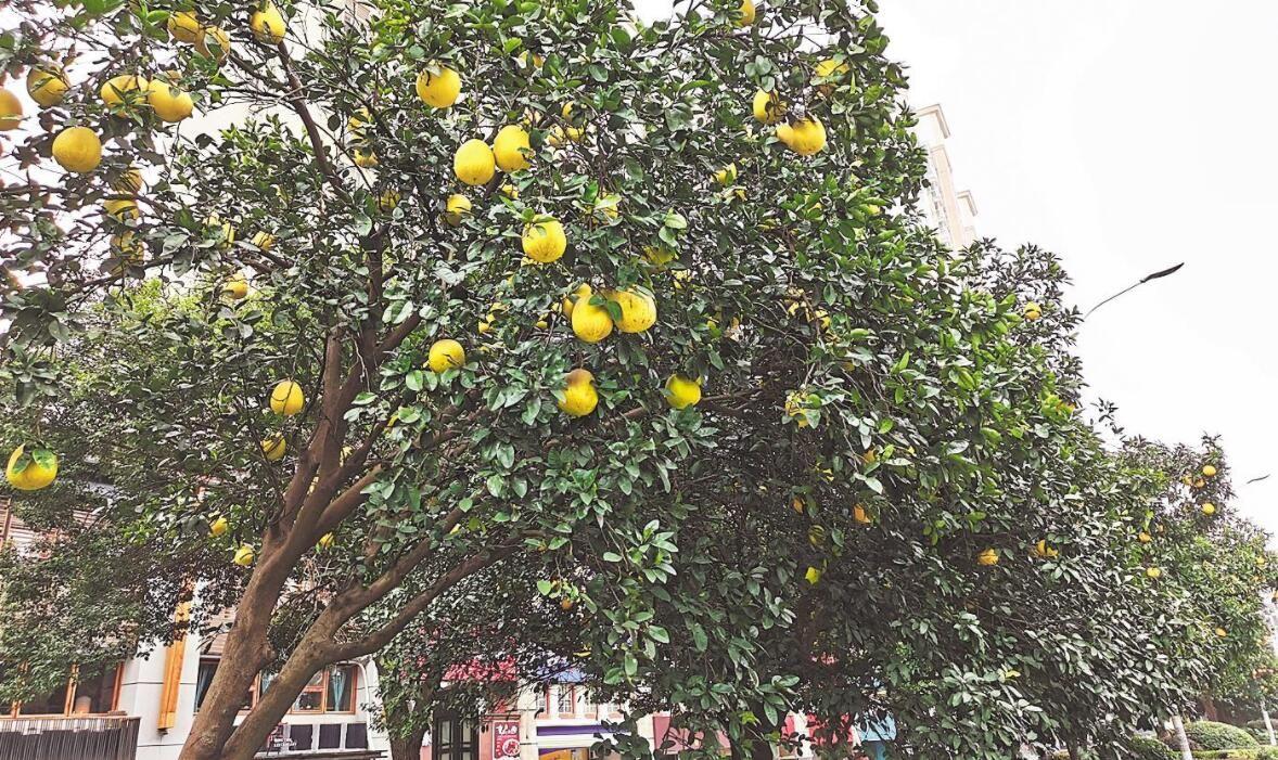 江城街头 金柚飘香