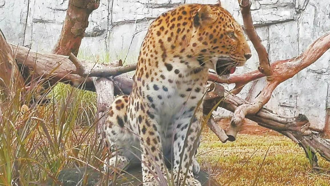 武汉动物园金钱豹姐妹远嫁广州