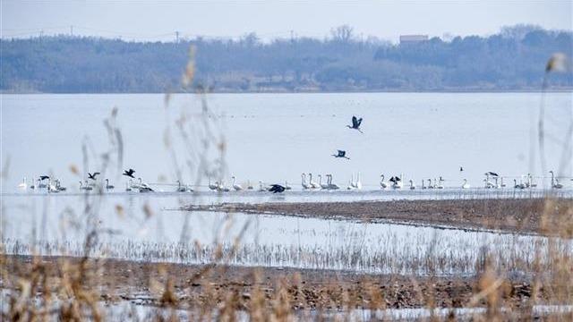 万鸟云集!大批珍稀候鸟齐聚江夏安山湿地公园