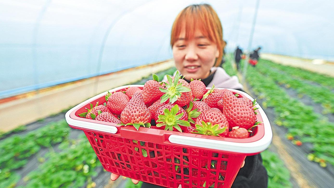 草莓成为致富果