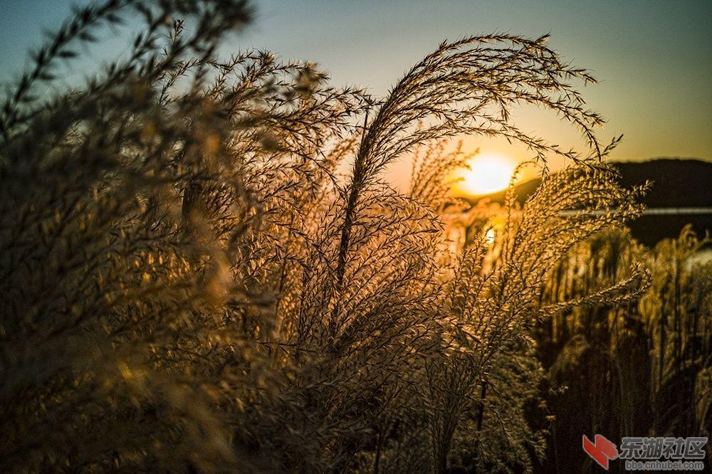 武汉东湖芦苇花的妩媚