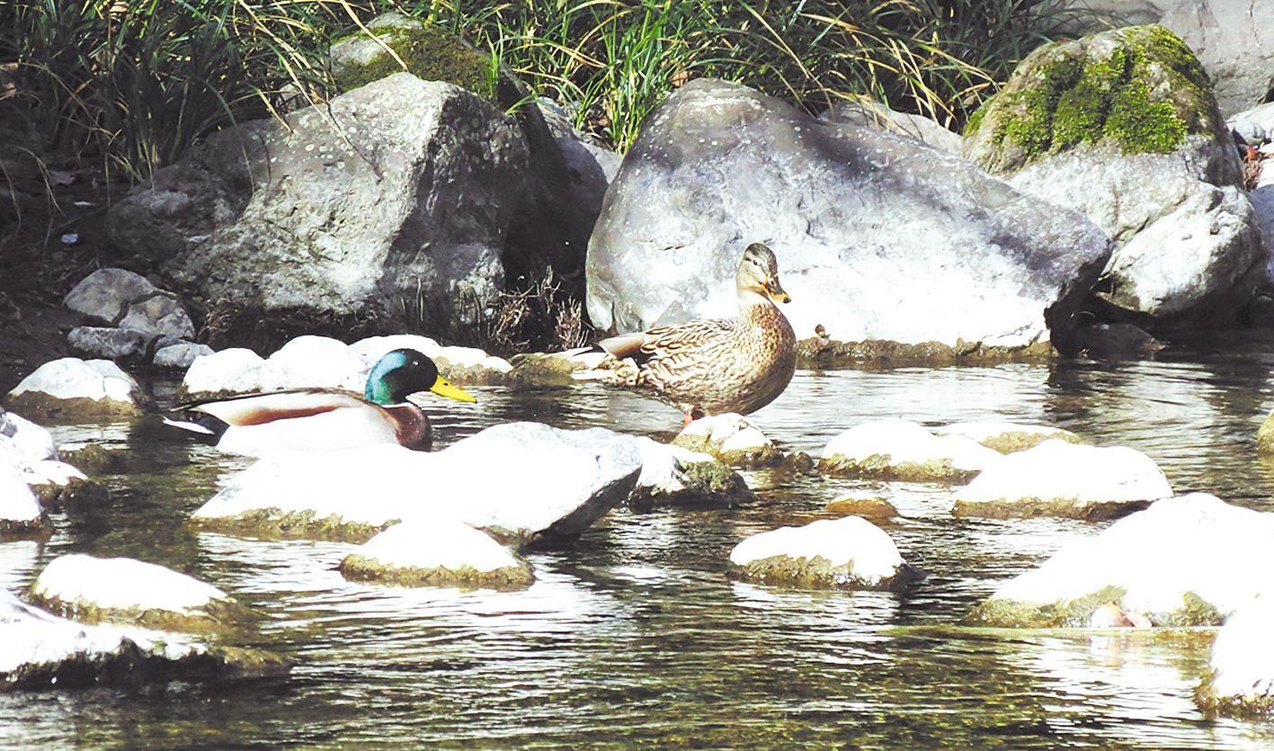 堵河源自然保护区发现绿头鸭