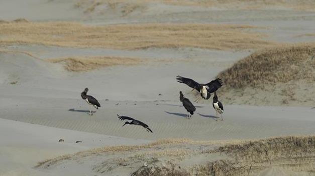 潛江首次發現大種群國家一級保護動物黑鸛