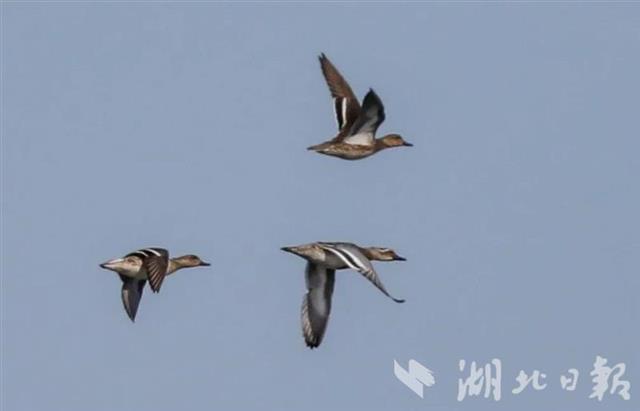 一批珍稀鳥類武漢越冬