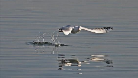 紅嘴鷗戲水東湖