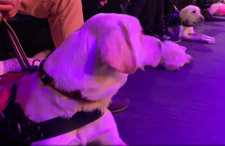 上海退役导盲犬毕业当天被收养