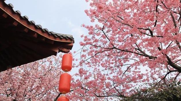 武汉东湖樱花园2月27日开园