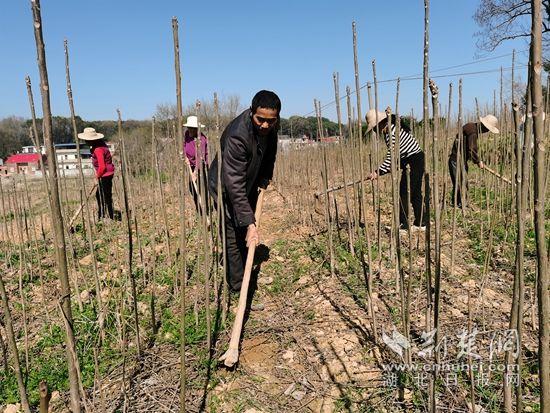 深耕百亩香椿基地,加快乡村振兴