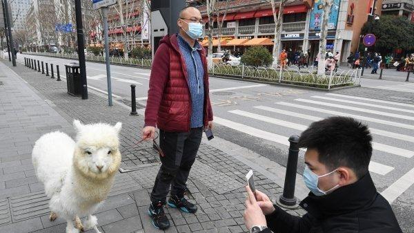 宠物羊驼逛街引围观