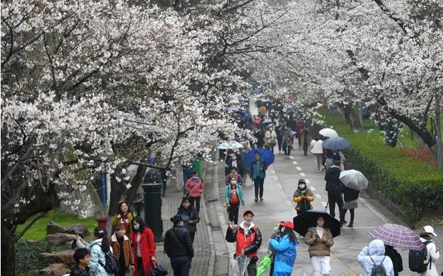 武汉大学对公众开放赏樱花