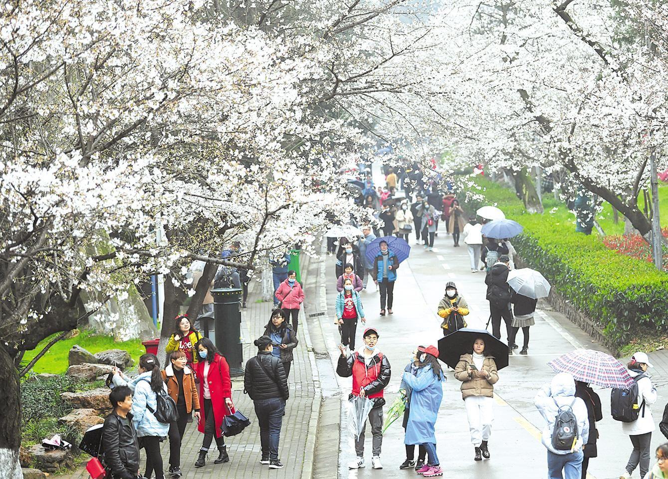 武大樱花对   公众开放