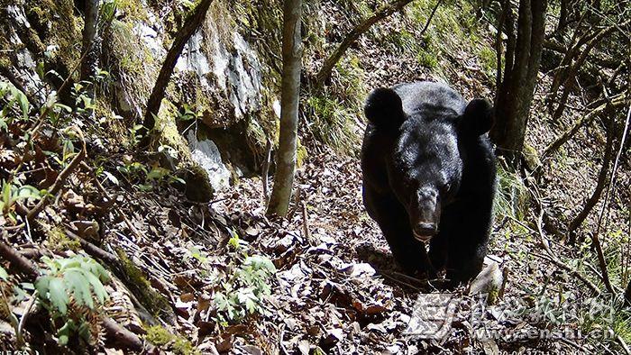 鹤峰木林子自然保护区熊出没