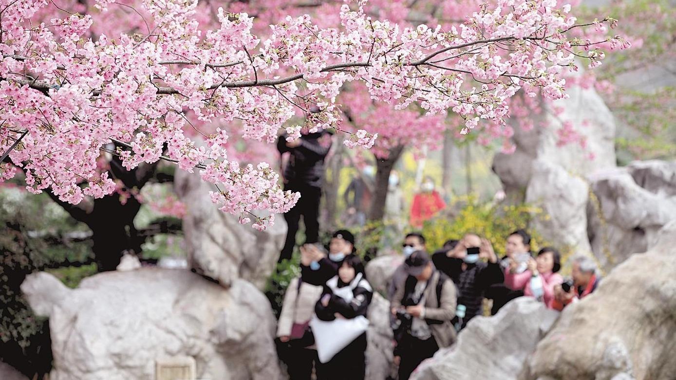 踏上开往湖北赏樱的春天专列