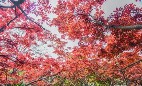 红枫扮靓中山公园