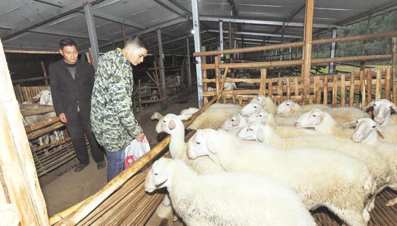 养羊父子脱贫奔小康