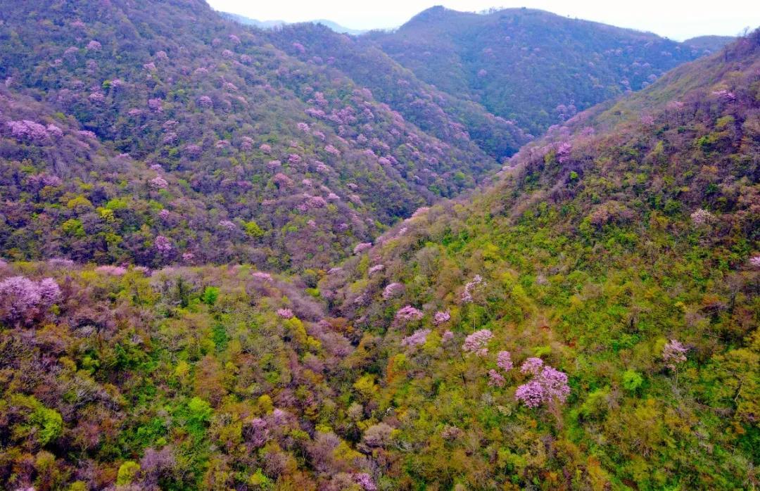 三峡百里荒现万亩野生紫荆 粉色花海美到开挂(图)