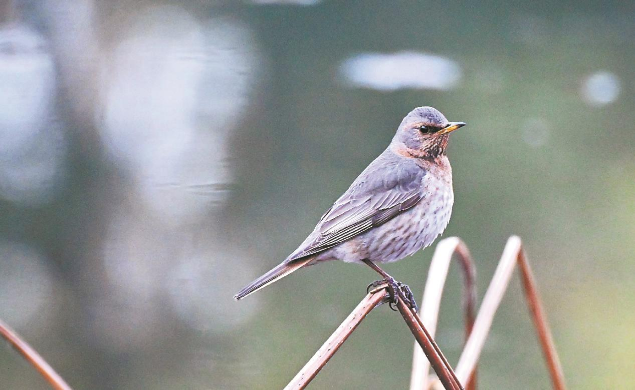 武汉第一季度上新4种鸟