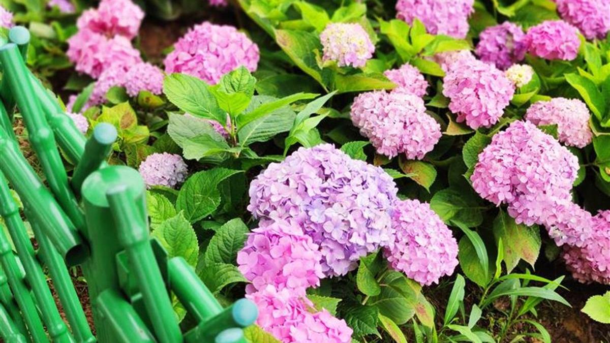 武汉金银湖国家湿地公园绣球花绽放