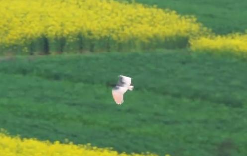 朱鹮飞越美丽的油菜花海