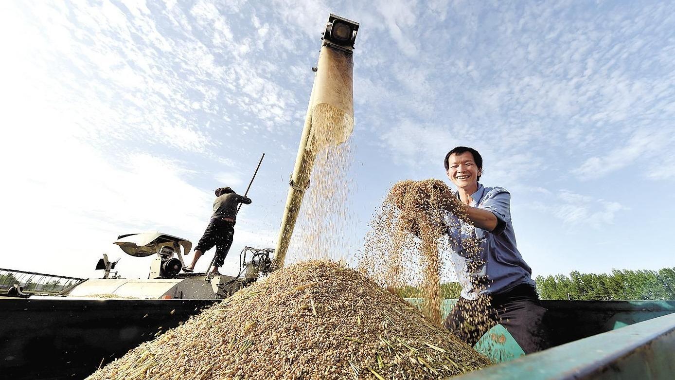 南漳抢收有机小麦