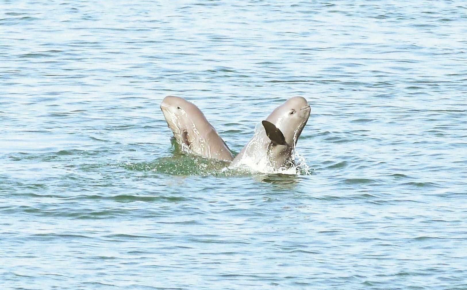 江豚舞起水上芭蕾