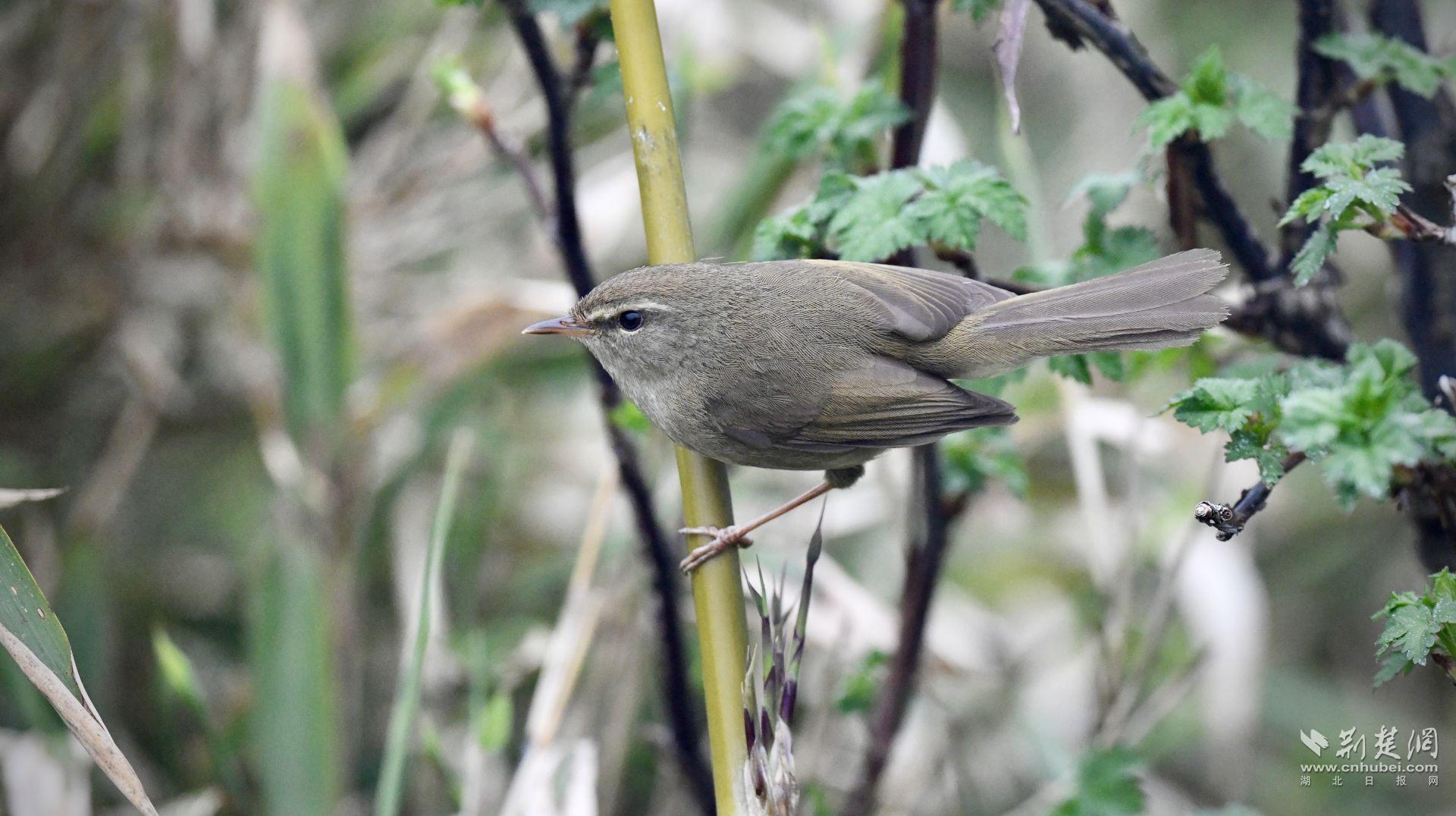 神农架发现黑喉歌鸲和异色树莺 为湖北省鸟类新记录种