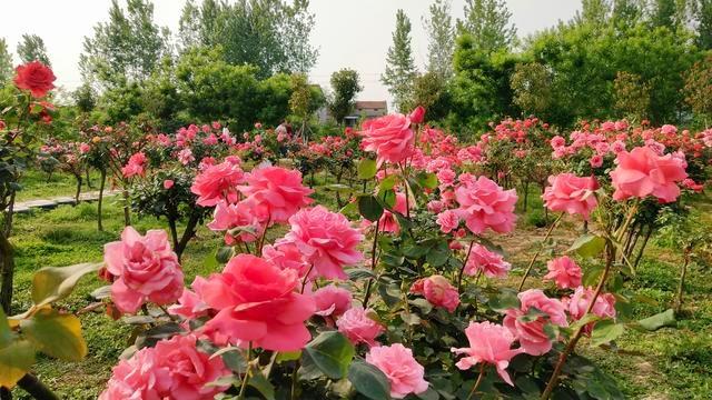 襄阳600亩月季花竞相绽放