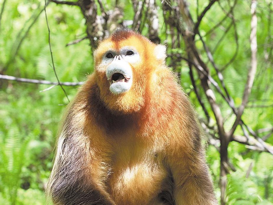 """""""大胆""""的金丝猴"""