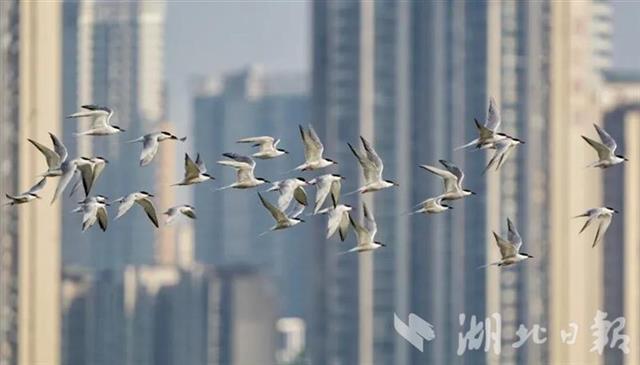 武汉重点区域5月观测到鸟类231种